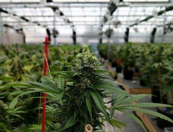 Se activa la Industria del Cannabis en busca de empleados