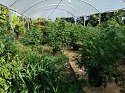 05-26-2020 Laboratorio clandestino de marihuana utuado